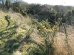 Young gorse plant in Hills & Hollows