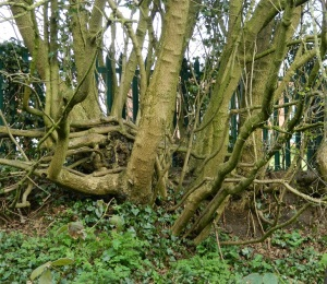 Holton's Lane old hedge